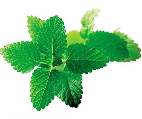 Conoce los beneficios de las plantas medicinales chilenas for Planta decorativa con propiedades medicinales